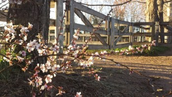 Nanking cherry blossoms - Poudre River Stables - Fort Collins - Colorado - 80521