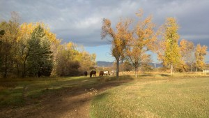 Included in Poudre River video - horses graze in lower pasture of historic farm - Poudre River Stables - Fort Collins - Colorado