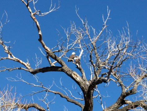 bald eagles - poudre river stables - fort collins - colorado - 80521
