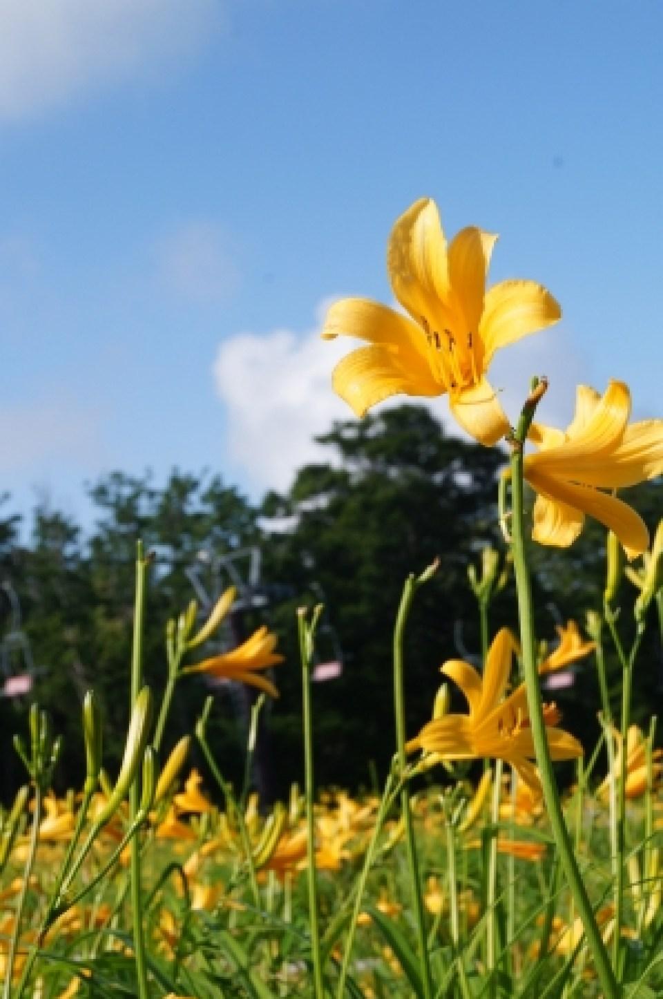 【7月1日撮影】ニッコウキスゲも鮮やかに開花しております。