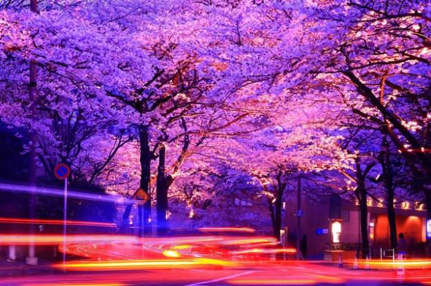 アークヒルズ周辺の夜桜は必見です