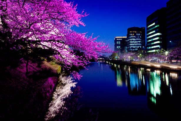 福岡城跡の夜桜 撮影/erax.01さん