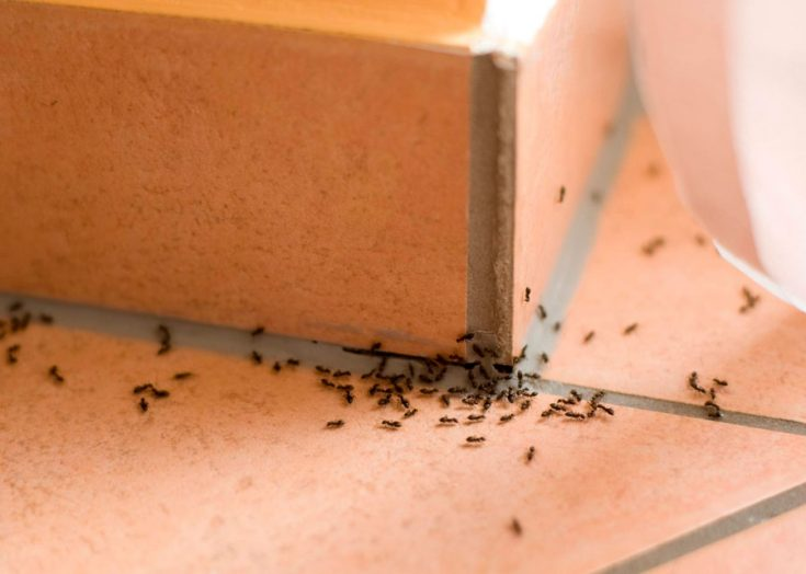 Taistelutavat muurahaisilla asunnossa