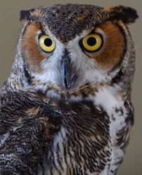 Ambassador Bella - Great Horned Owl