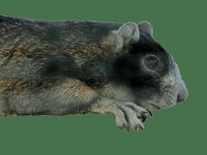 Fox Squirrel no board