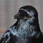 Symbolic Adoptions Spirit the Fish Crow