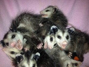 7 smiling 'possums