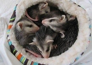 I Found an Opossum Baby Opossums