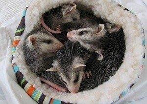 I Found an Opossum Baby Opossums