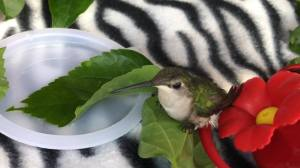 Hummingbird Tiana recovering after an incident with a frog (who did not turn into a prince!)