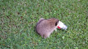 A raccoon with his head stuck in a ravioli can