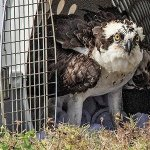 "A suspicious osprey plans his ""escape"""