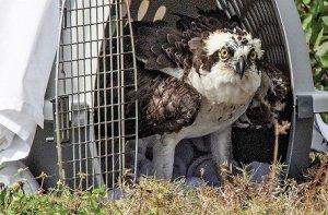 "A suspicious osprey plans his ""escape"""