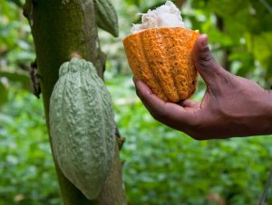 cocoa-nomics-open-and-closed-pod-on-tree