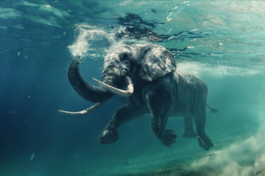 Circus Elephants - African Elephant Swimming underwater