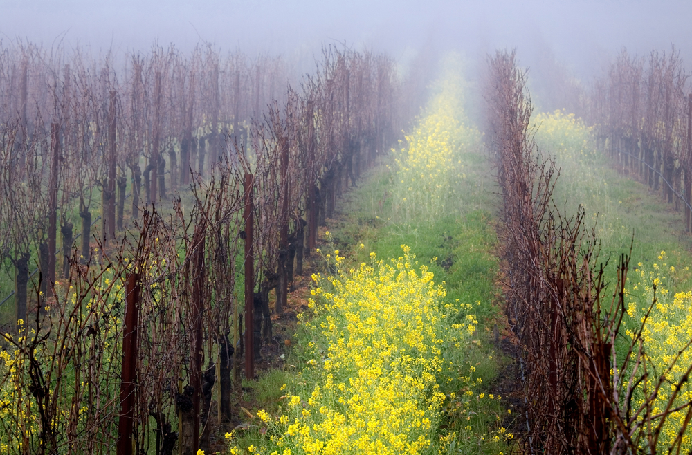 Girlfriend Getaway - Early morning fog settles over a vineyard in the Napa Valley, California