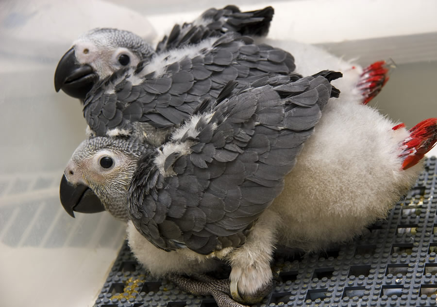 African Grey - african-grey-parrots-chicks