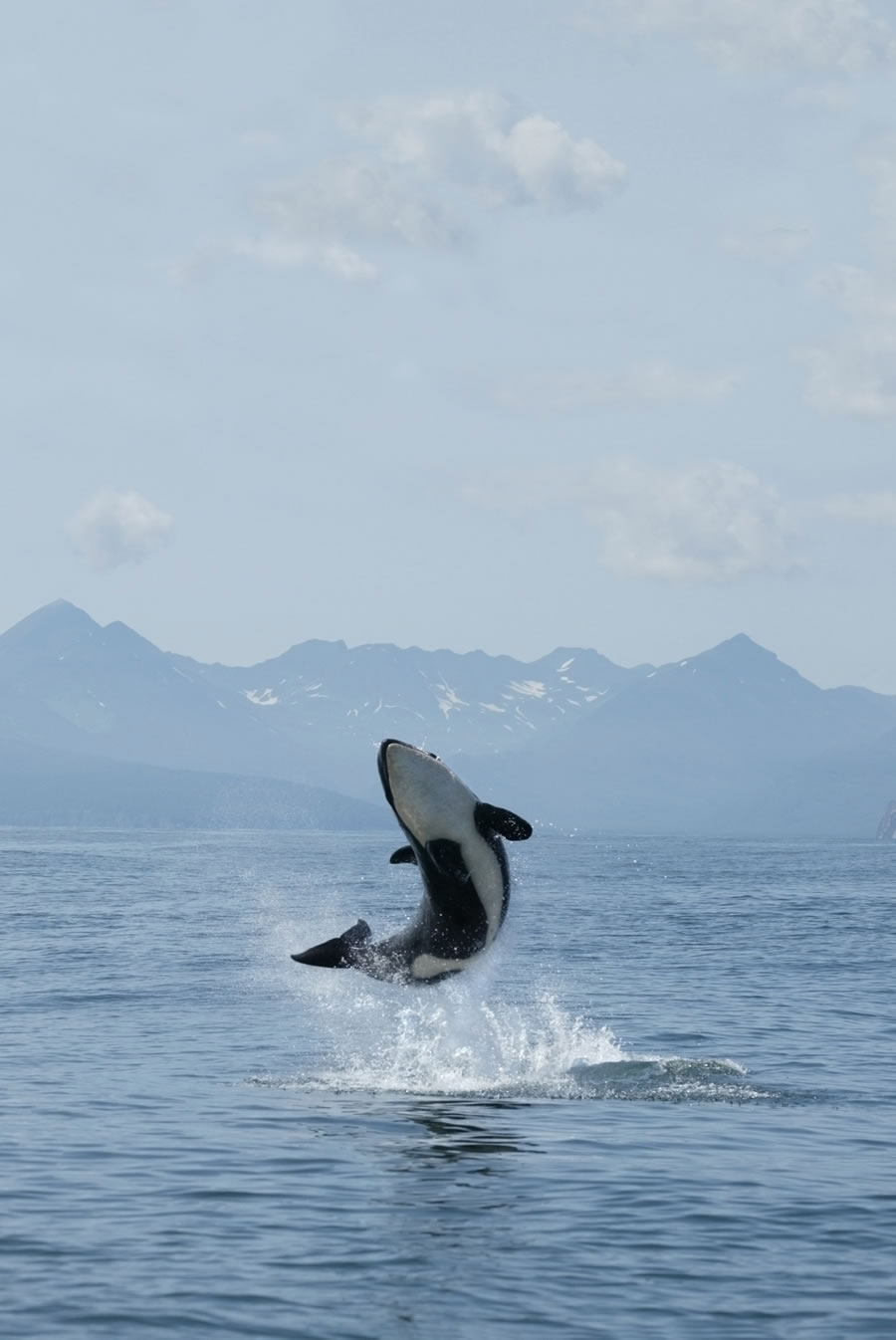 Orcas and Dophins - orca-breaching