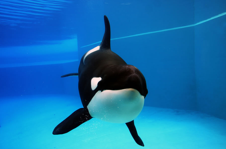 Orcas and Dophins - orca-in-sterile-tanks