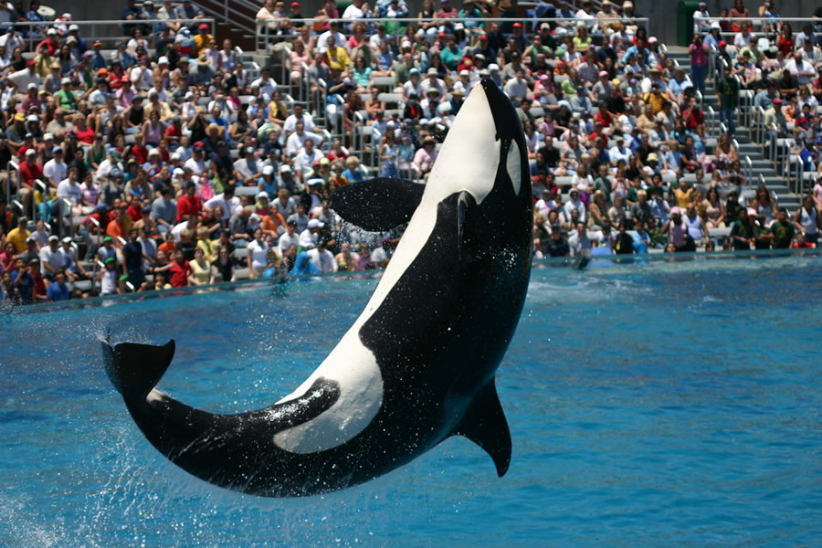 Orcas and Dophins - orca-performing-in-front-of-crowd