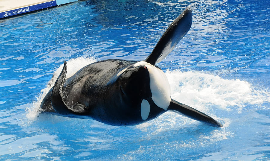 Orcas and Dophins - Tilikum