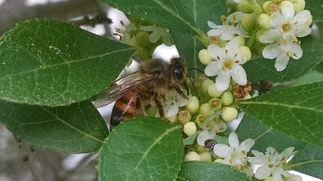 honeybee-on-the-male-winterberry