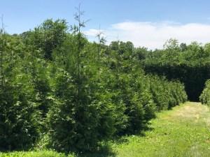 Green Giant evergreen trees growing at Pryor's Nursery