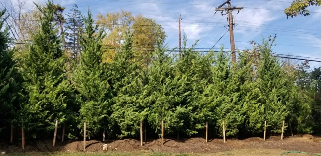 Leyland Cypress Privacy Screening along Rt 355