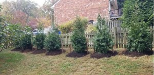 Green Giant Arborvitae living Fence Installation for Privacy from neighbors