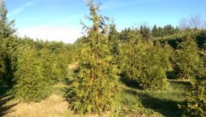Green Giant Arborvitaes growing at Pryor's Nursery