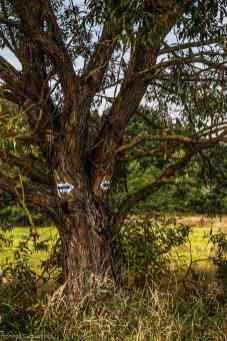 Szewce - drzewo kierunkowe