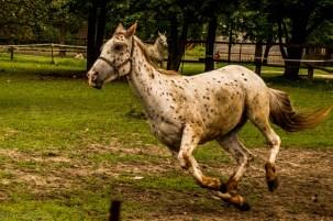 galopujący koń bez jeźdźca