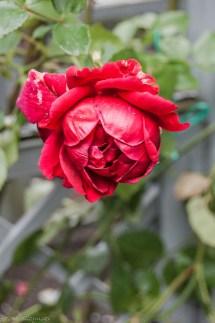 atrakcje malborka - zamek ogród róża
