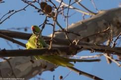 palermo - villa bonanno papuga na drzewie