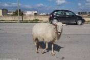 saliny - owca sycylia