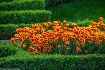 rabata z pomarańczowymi tulipanami