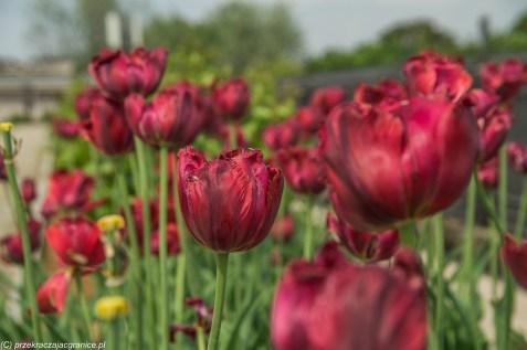 zbliżenie na czerwone tulipany