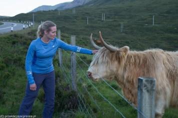 kobieta głaska szkocka krowę po głowie