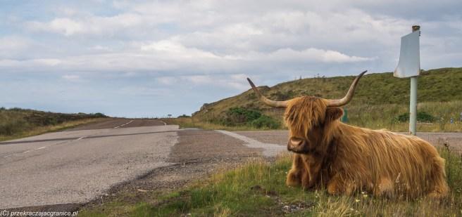 Krowa przy drodze - okolice Strathy