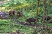 Żubry w Muczne - połoniny w Bieszczadach