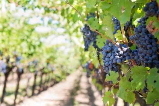 Winnica winogrona