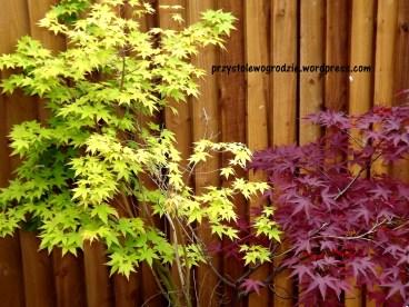 Klon palmowy /Acer palmatum/