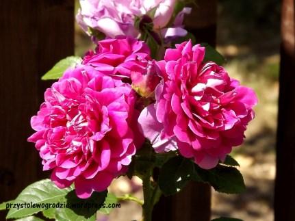 "Róża ""Mary Rose"" David Austin"