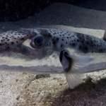 Λαγοκέφαλοι σκόρπισαν τρόμο σε ψαροντουφεκά