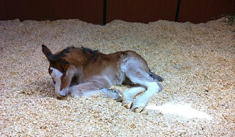 This is Fiona's mare, Baby F. There's no great ceremony to name the mares, no public contests or any such thing.