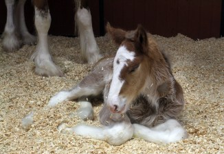 The horses are bred to have a white blaze on their face, dark mane, bay coloring with white legs.