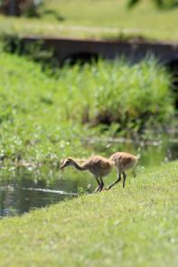 Sandhill Crane Babies2
