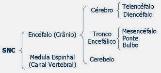 Divisão do sistema nervoso central