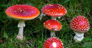 Psilocibina - cogumelos mágicos