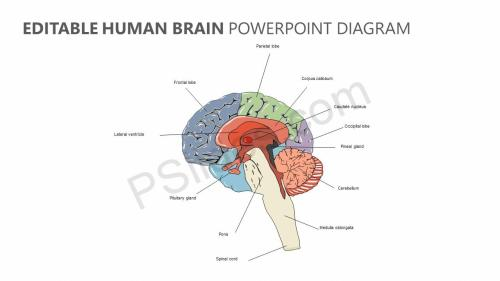 small resolution of editable human brain powerpoint diagram jpg